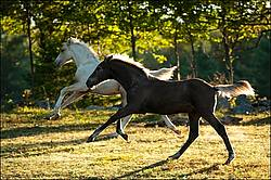 Two Rocky Mountain Horse foals Galloping in Field