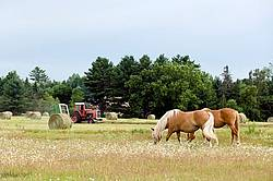 Two Belgian draft horses grazing
