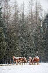 Photo of Belgian draft horses