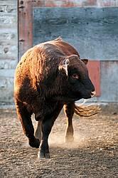 Saler Bull