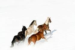 Herd of Rocky Mountain Horses Galloping in Snow