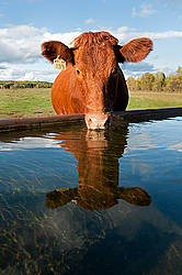 Beef cow at water trough