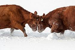 Cow Fight