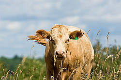 Blond beef calf standing in tall grass on summer pasture