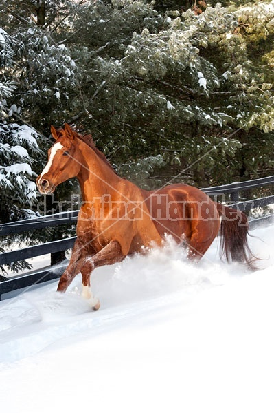 Thoroughbred chestnut horse galloping through the deep snow