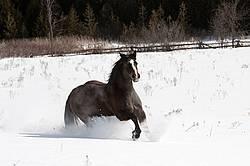 Dark bay horse galloping through deep snow