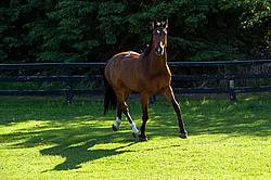 Dutch Warmblood Thoroughbred cross gelding