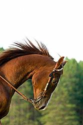 Portrait of a Chestnut Horse in a Western Bridle