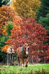 Man driving Belgian draft horse in the fall.