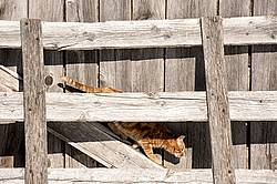 Orange barn cat sitting on wooden gate