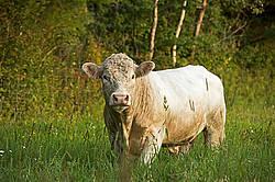 Young Charolais bull