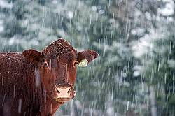 Cow Face in the Snow