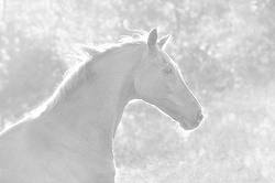 Black and white portrait of a Thoroughbred horse