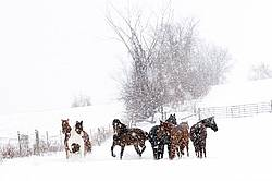 A herd of horses standing in a field during a snow storm
