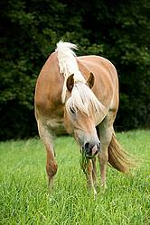 Haflinger horse grazing on summer pasture