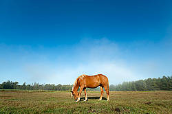 Chestnut horse standing in field in early morning light.
