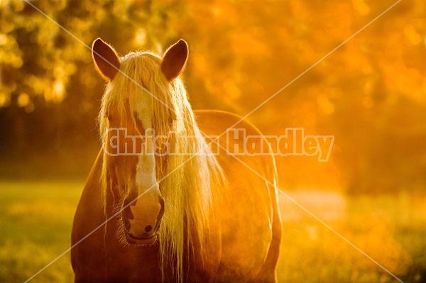 Portrait of a belgina horse