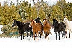 Herd of Rocky Mountain Horses