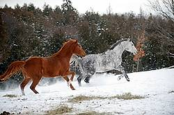 Dapple gray horse and bay horse galloping in deep snow