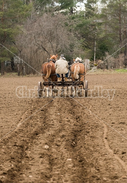 Farmer working a team of Belgian Draft Horses