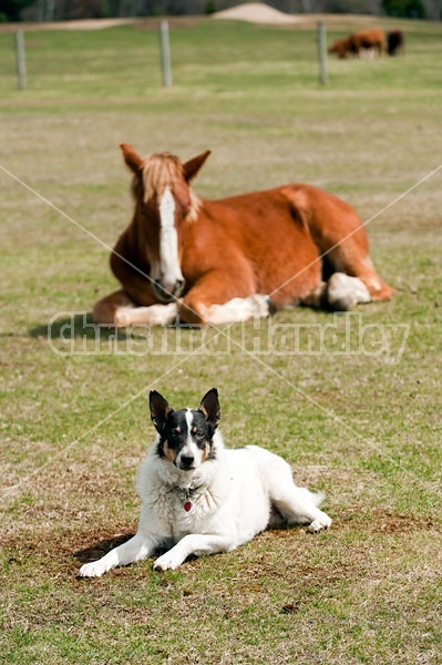 Farm dog laying in field with horse