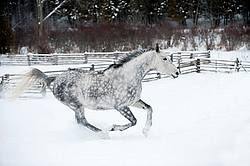 Gray horse galloping in deep snow