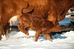 Baby beef calf running and playing in the snow