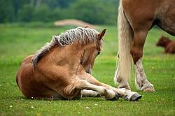 Young Belgian draft horse laying down outside