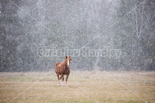 Belgian draft horse standing outside in a snow storm