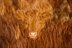 Double exposure of cow faces combined with the long winter hairy coats of cattle