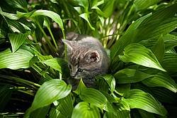 Young baby gray tabby kitten playing in flower garden