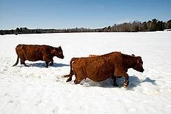 Beef cows walking through deep snow