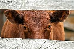 Beef Cow Peeking Through Board Fence