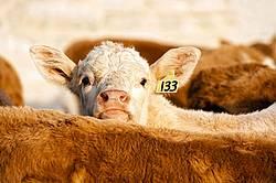 Young Charolais Calf
