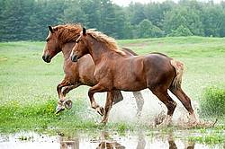 Two Belgian draft horses running through water in the field
