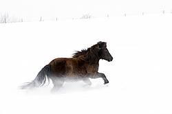 Dark bay Icelandic horse running through deep snow
