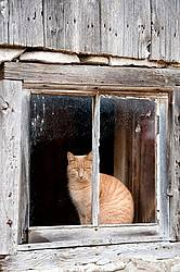 Orange cat sitting in barn window
