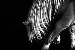 Photo of Belgian draft horse scratching its leg