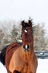 Portrait of a bay horse outside in the snow