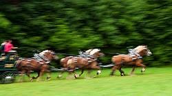 Belgian draft horse six horse hitch