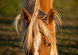 Chestnut horse face