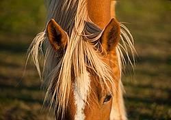 Chestnut horse face