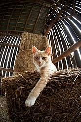 Cat laying on round bale of straw inside barn