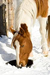 Paint horse drinking water from a black rubber tub in the snow