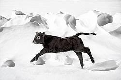 Beef Calf in Snow