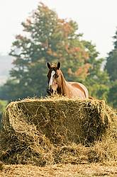 Chestnut Quarter horse eating hay