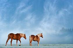 Two chestnut horses walking in field on a foggy morning as the sun was burning through creating a magical atmosphere