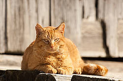 Orange barn cat