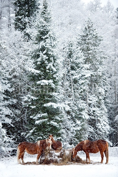 Three Belgian draft horses eating hay at round bale feeder in the winter