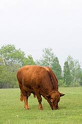 Red Angus bull on springtime pasture